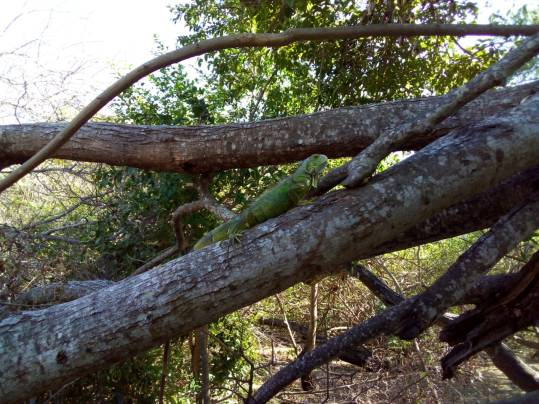 Iguana haven!