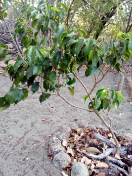 young bay laurel tree