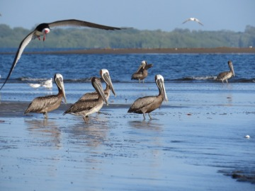 Pelicans in the estuary